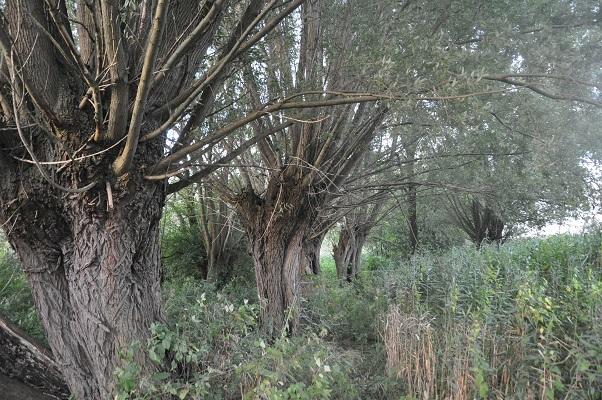 Knotwilgen tijdens wandeling door Bedaf in Uden: De boer op gaan