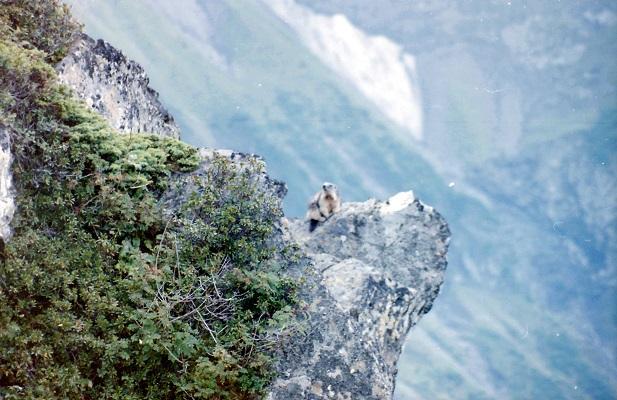 Bergmarmot tijdens wandelreis in Zwitserland
