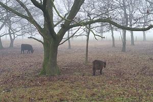 Wandelen over het Peelpad bij koeien in het Zinkske