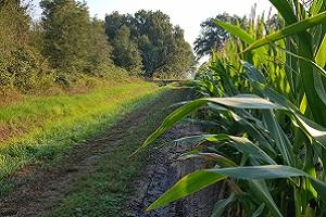 Wandelen over het Peelpad langs maïsvelden