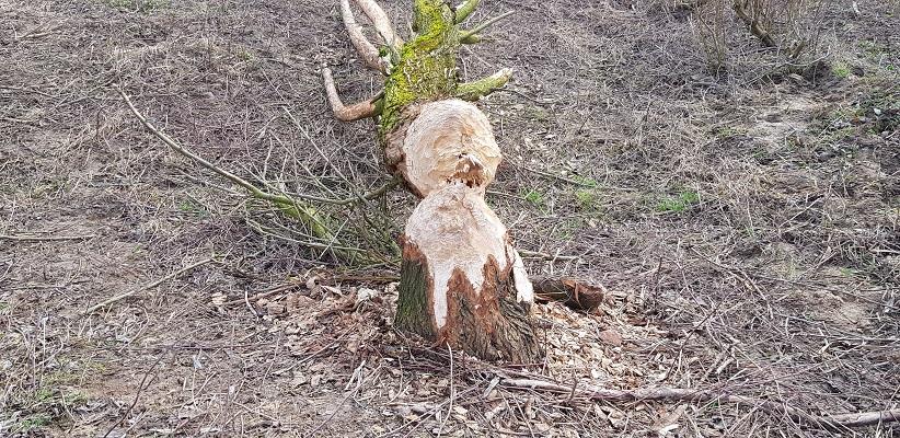 Omgeknaagde boom door bever op IVN-wandeling door de Millingerwaard