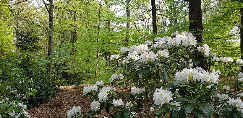 Wandelen langs het Westerborkpad langs bloeiende rododendrons