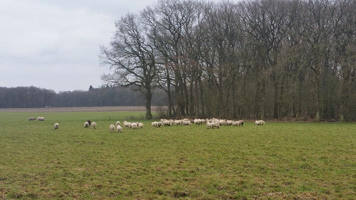 Wandelen over het Westerborkpad van Hooghalen naar Beilen bij schapen in het veld