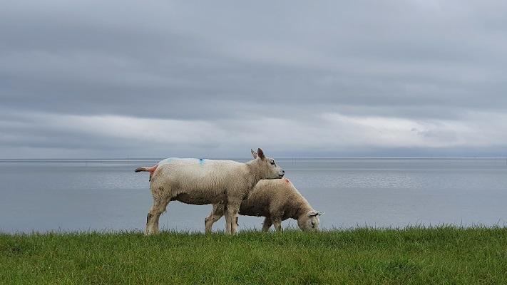 Wandeling op Texel van Cocksdorp naar Oosterend op de dijk langs de Waddenzee