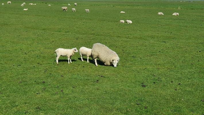Wandeling van 't Horntje naar Oosterend op Texel bij schapen op oude dijk