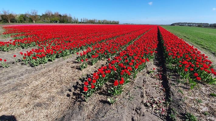 Wandeling van 't Horntje naar Oosterend op Texel bij bollenvelden