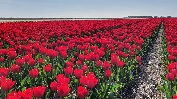 Wandeling op Texel van De Koog naar Cocksdorp langs de bollenvelden